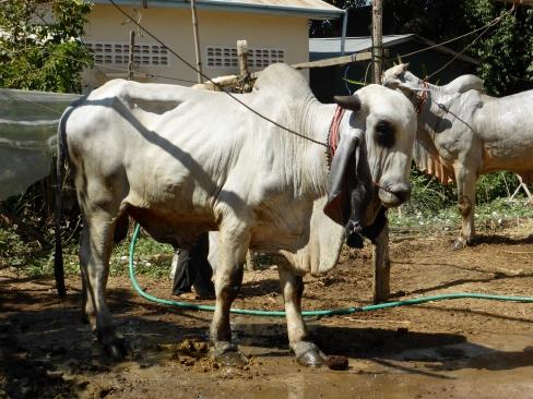 Une vache aux longues oreilles !